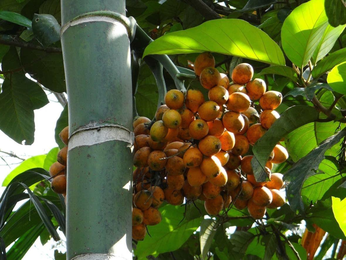 Oříšky Catechu - Papua nová Guinea